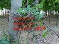 皂角树多少钱