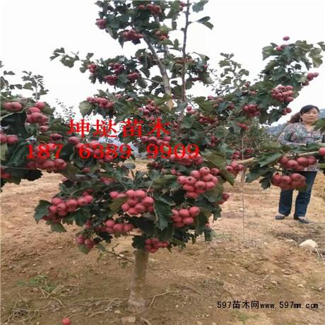 4公分山楂树,4公分山楂树苗,4公分大山楂树价格