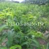 最便宜映霜红桃树苗供应商【果树苗】桃树苗价格