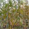 柿子苗 甜柿苗 1公分柿子苗 2公分柿子苗