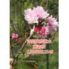 广东八重樱树基地、浙江牡丹樱树供应、宁德八重樱报价