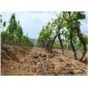2018年3-4-5公分葡萄树的价格哪里有好品种葡萄树苗