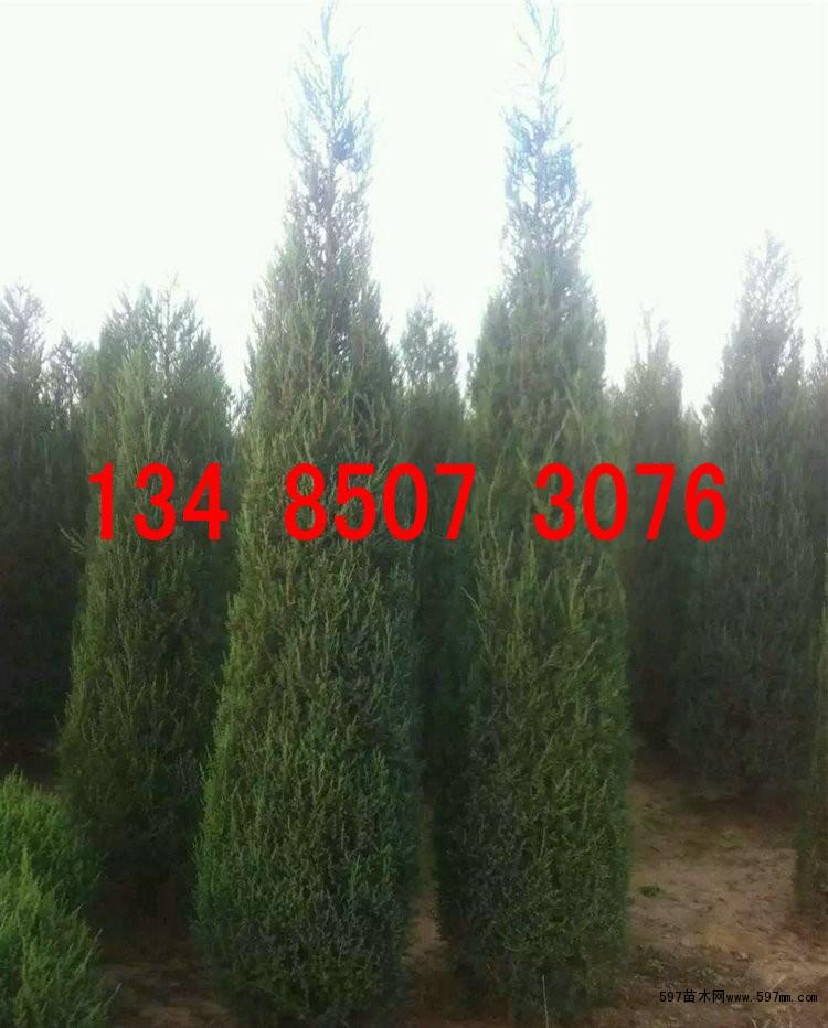 松柏树种子 蜀桧 龙柏 桧柏种子播种繁殖技术 出芽率高