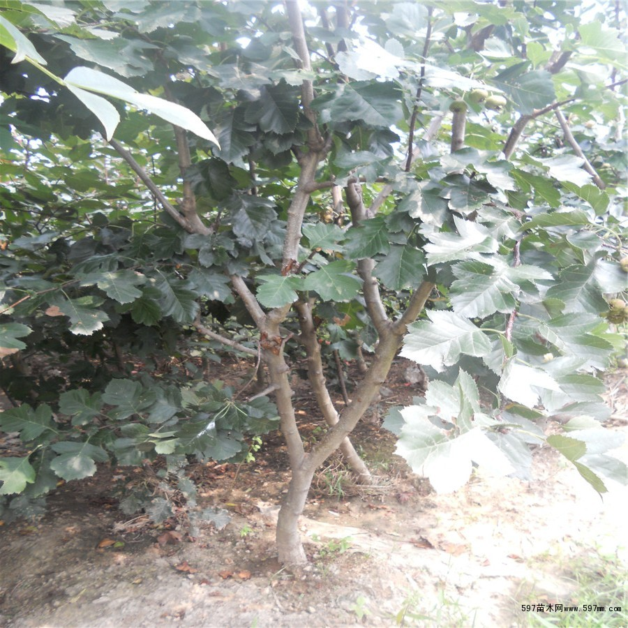 3-5公分山楂苗,大山楂树价格,绿化山楂树