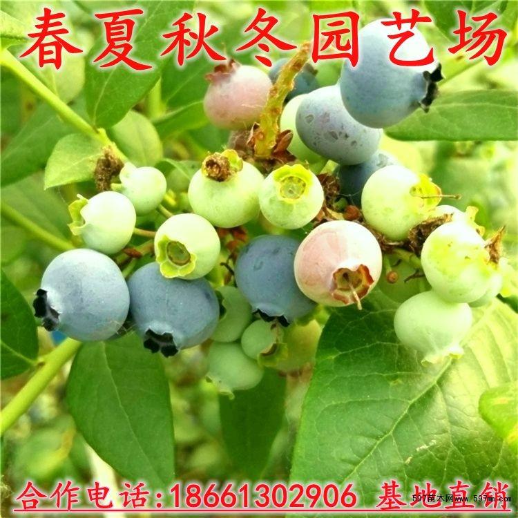 基地直销蓝莓苗优质蓝莓树苗.10月份蓝莓苗价格