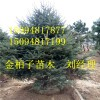 现挖现卖白皮松树苗 名贵绿化白皮松 长期供应热销白皮松树苗