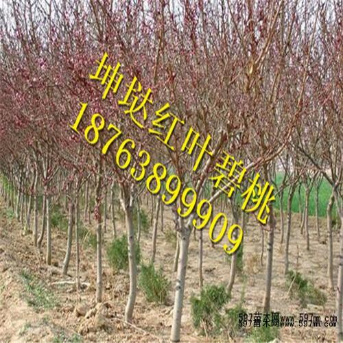 摘心,扭梢等夏剪措施,以抑强扶弱,保持树体平衡;盛果期 桃树,由于多年