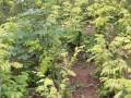 金叶水杉小树苗批发