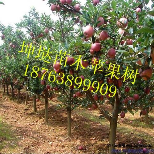 主要品种有:m26中间砧苹果苗,长短枝富士,秦冠,红将军,红嘎拉,美八,烟