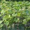嫁接葡萄苗品種 金手指葡萄苗價格 金手指葡萄苗供應