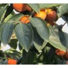 供应3公分柿子树=5公分柿子树=8公分柿子树=绿化柿子树量大