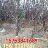 多少钱一棵樱桃苗 樱桃苗多少钱一棵 吉塞拉砧木樱桃苗基地供应