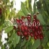 哪里有樱桃树苗新品种&什么价格&报价是多少&哪里质量好