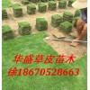 马尼拉草坪 基地直销优质马尼拉草坪