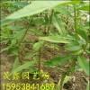 原生桃树苗哪里有卖的 多少钱一棵原生桃树苗