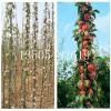 优质苹果树苗哪里便宜/批发厂家/有什么新品种