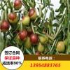 4公分粗冬枣树苗