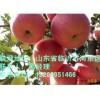 临沭县苹果苗 苹果苗最低价格 苹果苗最优品种