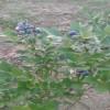 一年生蓝莓种苗的产地价格如何