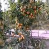 丰产玛瑙梨苗供应