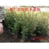 东北红豆杉小苗价格、辽宁红豆杉基地、东北红豆杉种子