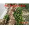东北红豆杉种播苗、东北红豆杉扦插苗、东北红豆杉1-8年苗价格