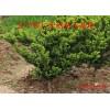 日本红豆杉小苗、日本红豆杉扦插苗、密枝红豆杉树苗价格