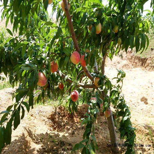 品种桃树苗价格 果树小苗 苗木 苗木报价 597苗木网