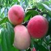 春艳桃树苗价格直销     桃树苗的批发价格