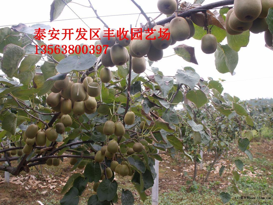 供应贵州盆栽猕猴桃果树苗盆栽 地栽猕猴桃树苗新西兰