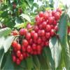 哥伦比亚樱桃1-6年苗