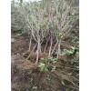 出售5公分樱桃苗;5-15公分樱桃树苗大量供应