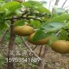 嫁接梨树苗什么品种好吃=梨树苗哪个品种成熟早=出售梨树苗