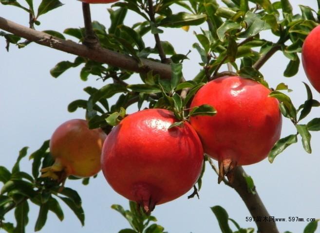 石榴苗新品种 软子石榴苗 突尼斯软籽石榴树苗基地
