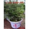 东北红豆杉小苗、东北红豆杉树苗价格、东北红豆杉批发