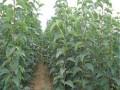 柿子苗批发价格