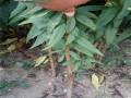 蟠桃苗品种