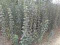 矮化苹果苗规格