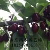 吉塞拉樱桃苗批发基地 供应5号吉塞拉樱桃苗