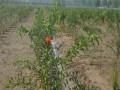 石榴苗品种