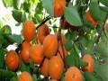 低价热卖杏树苗