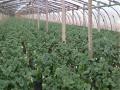 质优价廉草莓苗供应