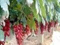 低价处理红提葡萄苗