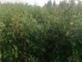 林源热卖花椒苗品种