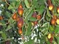 枣树苗规格供应