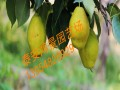 晚秋黄梨树苗供应种植