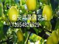 专卖翠冠梨树苗批发