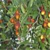 山东大枣枣树苗规格   1厘米大枣枣树苗价格