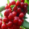 供应4公分美早樱桃苗的产地价格  樱桃苗货源地价格