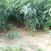 山东嫁接桃树苗品种  6至10月成熟桃树苗品种介绍